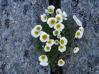 Bergblumen in der Felswand